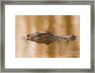 Alligator Head Framed Print by Robert Frederick