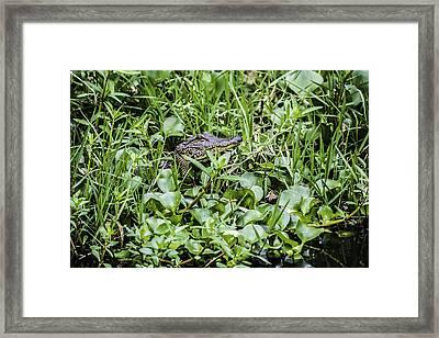 Alligator In Duck Weed, Louisiana Framed Print