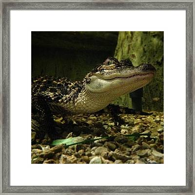 Misses Alligator Framed Print