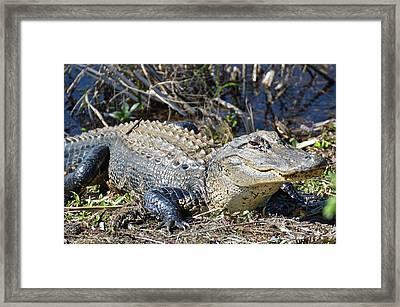 Alligator Framed Print by Linda Covino