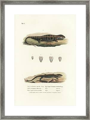 Alligator Lizards From Mexico Framed Print