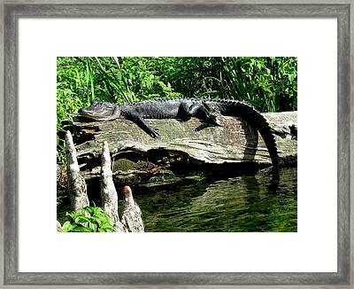 Alligator On Log II Framed Print by Lisa Scott