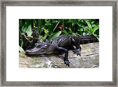 Alligator On Log Framed Print by Lisa Scott