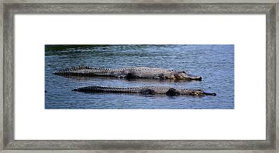 Alligator Pair Framed Print by Bruce W Krucke