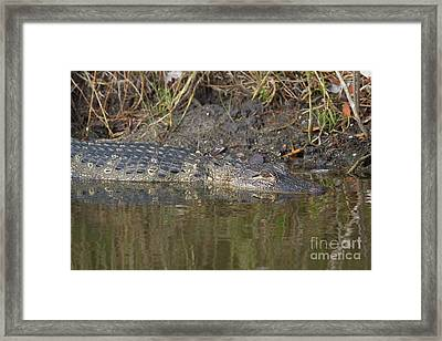 Alligator Reflections Framed Print by David Cutts