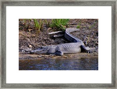 Alligator Resting Framed Print by Bruce W Krucke