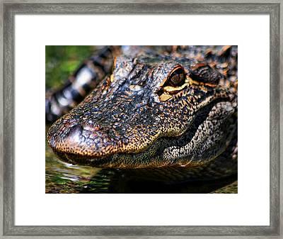 Alligator Super  Close Up Framed Print