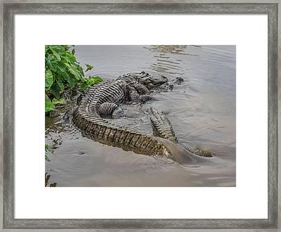 Alligators Courting Framed Print