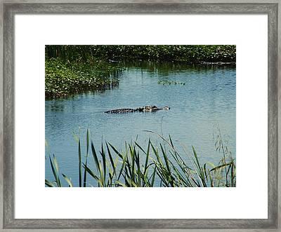 Alligators Framed Print by Nereida Slesarchik Cedeno Wilcoxon