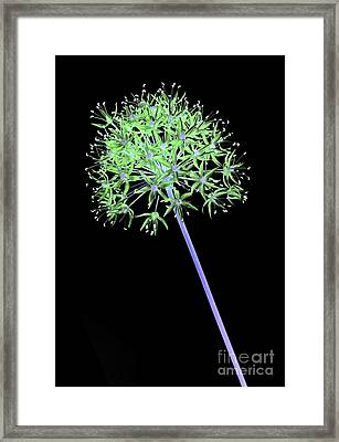 Allium 2 On Black Framed Print by Tony Cordoza