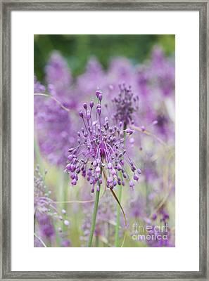 Allium Carinatum Flowering Framed Print by Tim Gainey