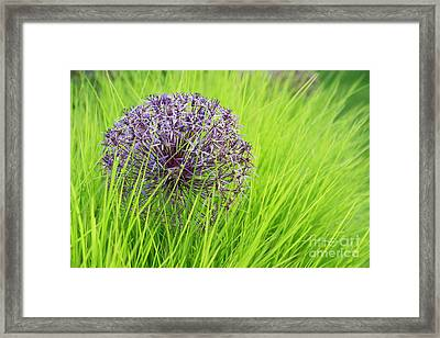 Allium Christopher In Long Grass Framed Print by Tim Gainey