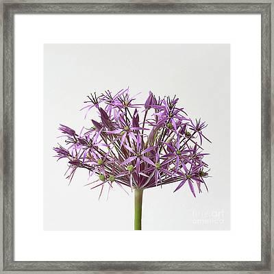 Allium Christophii Star Of Persia Framed Print