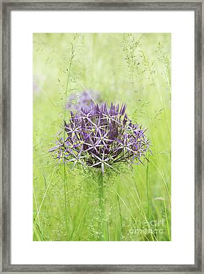 Allium Christophii Framed Print