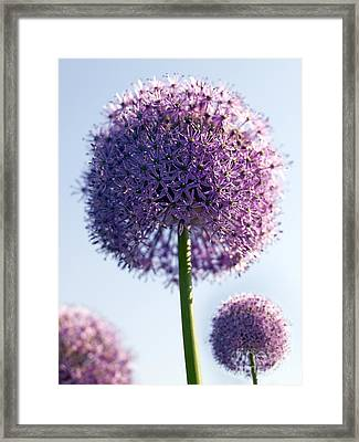 Allium Flower Framed Print by Tony Cordoza