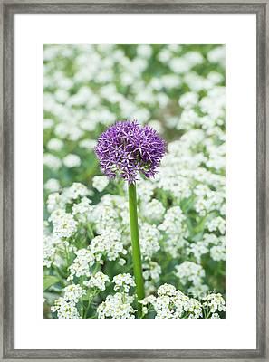 Allium Globemaster Opening Framed Print by Tim Gainey