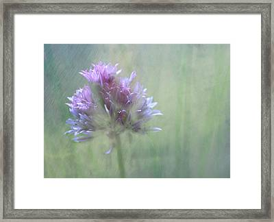 Allium Impressionism Framed Print