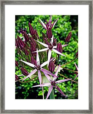 Allium Macro 2 Framed Print by Sarah Loft