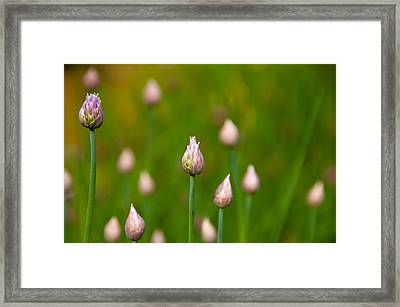 Framed Print featuring the photograph Allium Plants by Monte Stevens