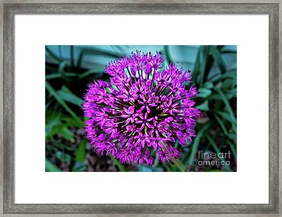 Allium Framed Print by Robert Bales