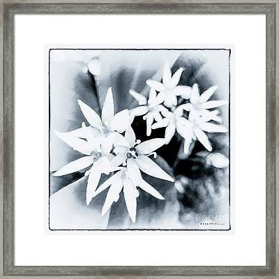 Allium Ursinum Black White 2 Framed Print