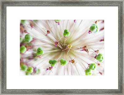 Allium Zoom Framed Print