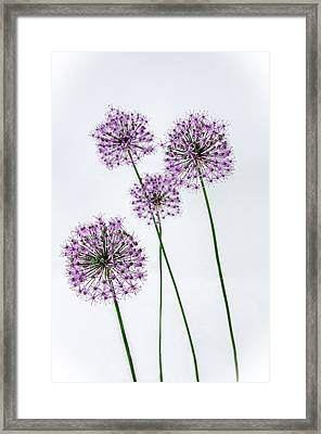 Alliums Standing Tall Framed Print