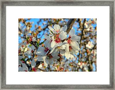 Almond Blossoms Framed Print by Mike Ronnebeck