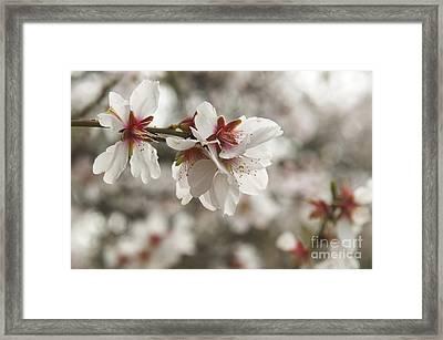 Almond Blossoms Framed Print by Shahar Tamir