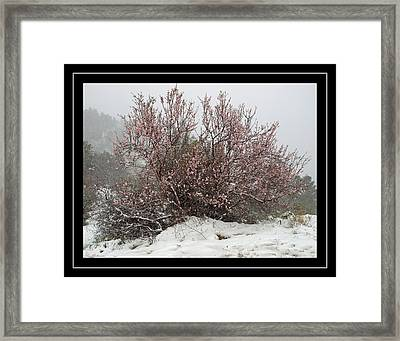 Almond In Snow Framed Print by Arik Baltinester