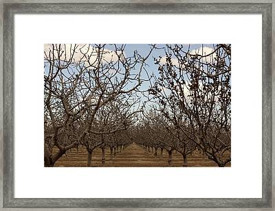 Almond Orchard Framed Print by Denice Breaux