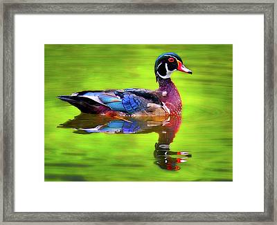 Almost Perfect Wood Duck Framed Print by Jean Noren