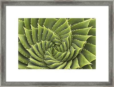 Aloe Polyphylla Framed Print by Geoff Bryant