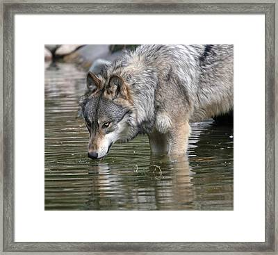 Alone And Watching Framed Print by Walter Graff