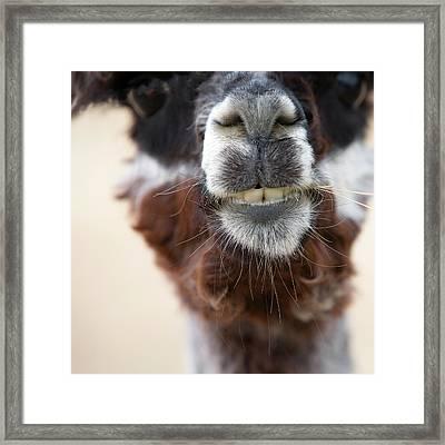 Alpaca #1 Framed Print