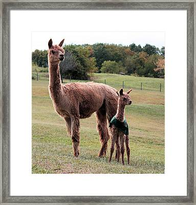 Alpaca And Cria Framed Print