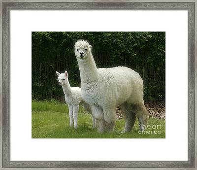 Alpaca And Foal Framed Print by Garry McMichael