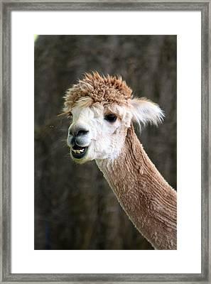 Alpaca  Framed Print