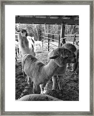 Alpaca Meeting  Framed Print