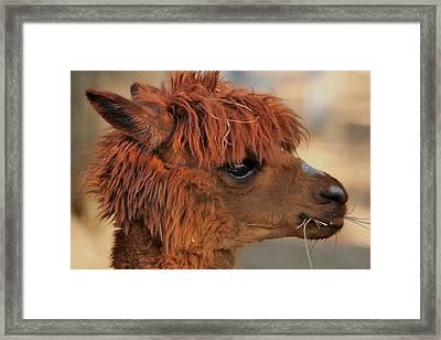 Alpaca Portrait Framed Print by Sheila Brown