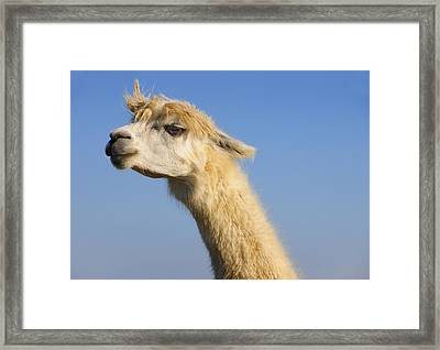 Framed Print featuring the photograph Alpaca by Skip Hunt
