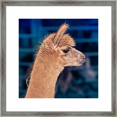 Alpaca Wants To Meet You Framed Print by TC Morgan