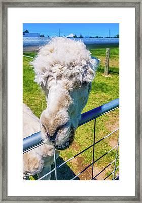 Alpaca Yeah Framed Print