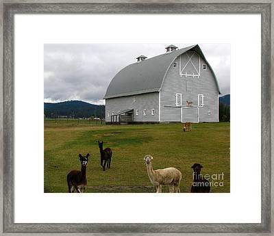 Alpacas Framed Print by Greg Patzer