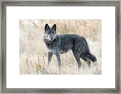 Alpha Female Framed Print
