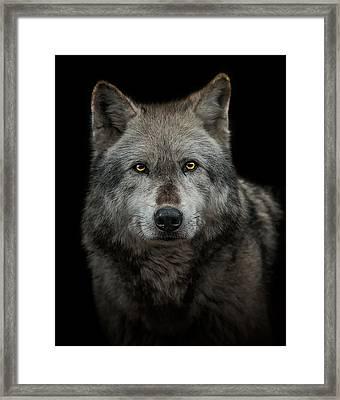 Alpha Male  Framed Print by Paul Neville
