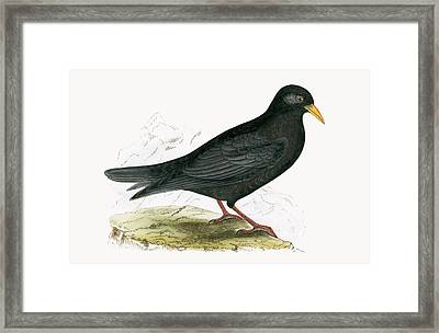 Alpine Chough Framed Print by English School