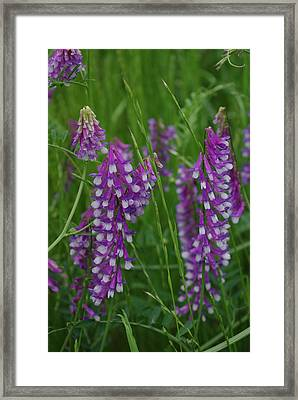 Alpine Vetch 1 Framed Print by Robyn Stacey