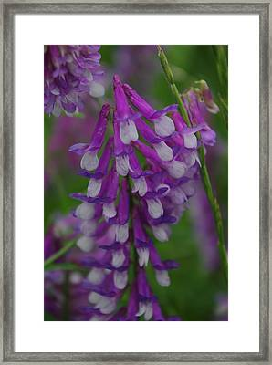 Alpine Vetch 2 Framed Print by Robyn Stacey