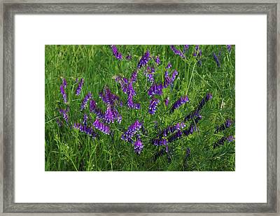 Alpine Vetch Framed Print by Robyn Stacey